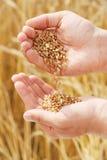 Texture du blé dans des mains de la personne Photo libre de droits
