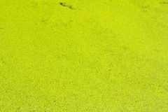 Texture of Duckweed, Mosquito fern Royalty Free Stock Photography