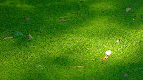 Texture of duckweed on the surface of the water. Closeup the green marsh duckweed texture background stock footage