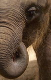 Texture of elephant skin. Thick brown deep folds and long pile of hair covering the skin texture on the twisted trunk and the body of the head with the eye of an Royalty Free Stock Images