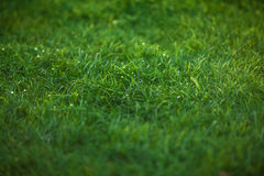 Texture of emerald green grass lawn Royalty Free Stock Photo