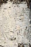 Texture en bois de bouleau Photos stock