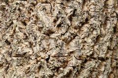 Texture en bois de l'arbre de tige de hortensis de Millingtonia (centre d'ATF image stock