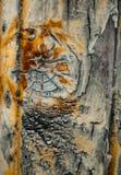 Texture en bois humide de noeud Photo libre de droits