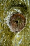 Texture en bois verte de noeud Photographie stock libre de droits