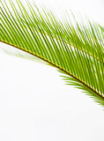 Texture en feuille de palmier Image stock