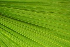 Texture en feuille de palmier Images libres de droits