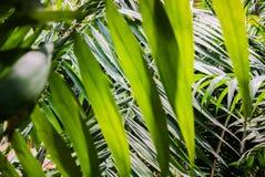Texture en feuille de palmier Photographie stock libre de droits