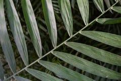 Texture en feuille de palmier Image libre de droits