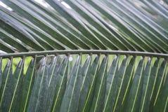Texture en feuille de palmier Photographie stock