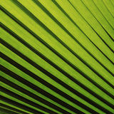 Texture en feuille de palmier verte Image stock