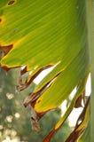 Texture et fond secs de feuille de banane dans le jardin Photo stock