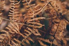 Texture et fond secs de fougère La fin vers le haut de la vue de la fougère sèche laisse dans la forêt fond organique et naturel Photographie stock