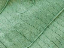 Texture et fond verts de feuille Photographie stock libre de droits