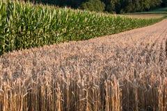 Texture et maïs Photographie stock