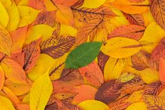 Green Leaf Isolated from Autumn Red, Orange and Yellow Leaves royalty free stock image
