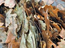 Texture of fallen leaves. Texture of fallen autumn leaves Stock Images