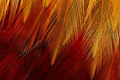 Texture of feather`s male Red junglefowl Gallus gallus Royalty Free Stock Photography