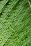Texture of fern Royalty Free Stock Image