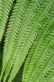 Texture of fern Royalty Free Stock Photos