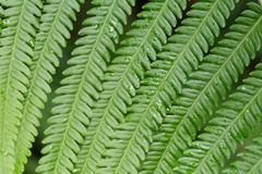 Texture of fern Stock Images