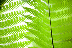 Texture of fern Royalty Free Stock Photography
