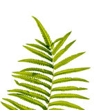 Texture of fern leaves on white background. isolated Stock Photography