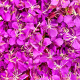 The texture of the flowers of fireweed Stock Photos