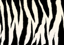 Texture - a fluffy skin of a zebra Royalty Free Stock Image