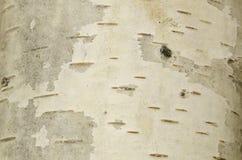 Texture focalisée de la croûte lisse blanche du bouleau Photos libres de droits
