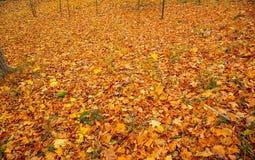 Texture/fond magnifiques des feuilles tombées jaune-orange Beaux milieux d'automne/chute photos libres de droits