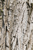Texture formed by the bark of an old tree Royalty Free Stock Images