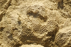 Texture formed by the corals in coastal limestone. Stock Photography