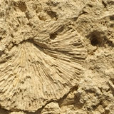 Texture formed by the corals in coastal limestone. Close up royalty free stock photo