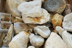 texture fossile de collection d'ammonites Images stock