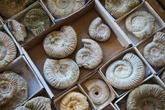 texture fossile de collection d'ammonites Photographie stock