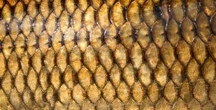 Texture fraîche d'échelles de poissons de carpe Photos libres de droits