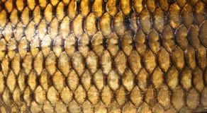Texture fraîche d'échelles de poissons de carpe Photo stock