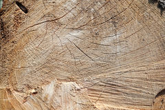 Texture of fresh cut logs Royalty Free Stock Images
