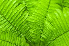 Fresh green fern leaves on blur background in the garden. Texture of fresh fern leaves Royalty Free Stock Photography