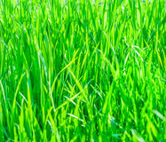 Texture of fresh grass Stock Photos