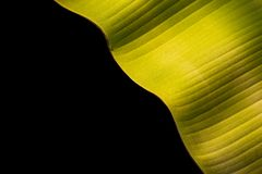 Texture of fresh green banana leaf isolated on black. Saved with. Texture of fresh green banana leaf isolated on black background. Saved with clipping path royalty free stock image