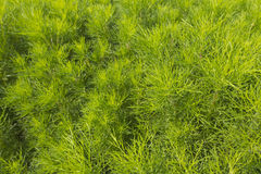 Texture of fresh green dill Stock Image