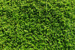 Texture of fresh green grass Royalty Free Stock Images