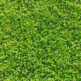 Texture  fresh green grass or foliage Royalty Free Stock Images