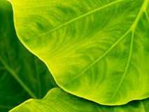 Texture of fresh green leaf background in nature royalty free stock photos