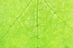 Texture of fresh green maple leaf close up Royalty Free Stock Photography
