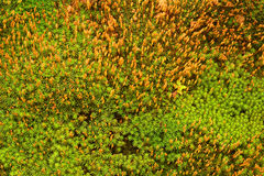 Texture of fresh green moss Stock Images