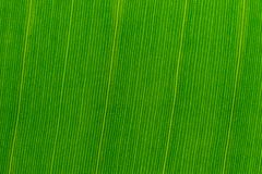 Texture of a fresh green tropical banana leaf. Close-up. Background for design Stock Photo