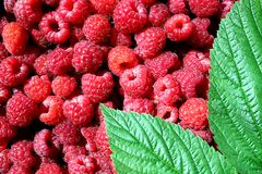 texture fresh juicy fresh picked raspberry with green leaf stock photo